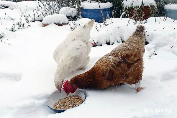 Куры не несутся зимой - что делать и как исправить?