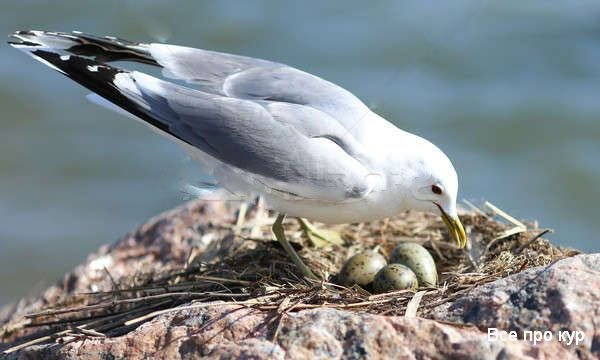 Чайка в гнезде с яйцами.