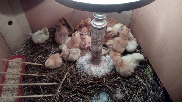 Суточный цыплята в картонной коробке.
