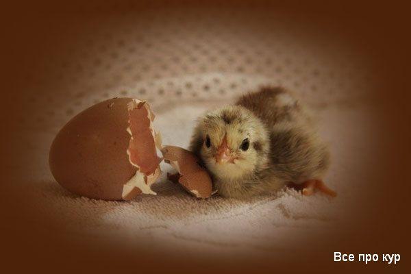 Инкубация куриных яиц дома - ТОП-10 советов новичкам.