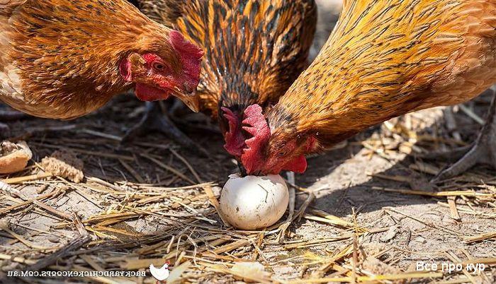Расклев яиц у кур несушек, что делать?