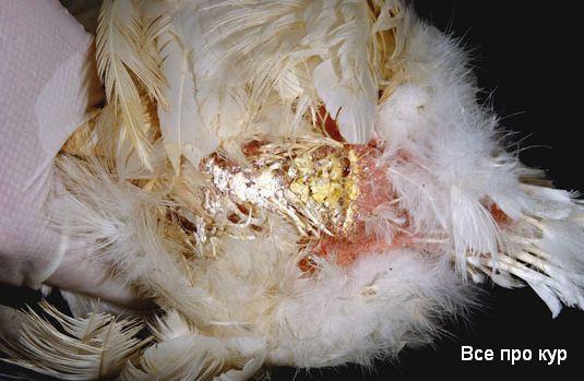 Грязные попки - это диарея у кур несушек.