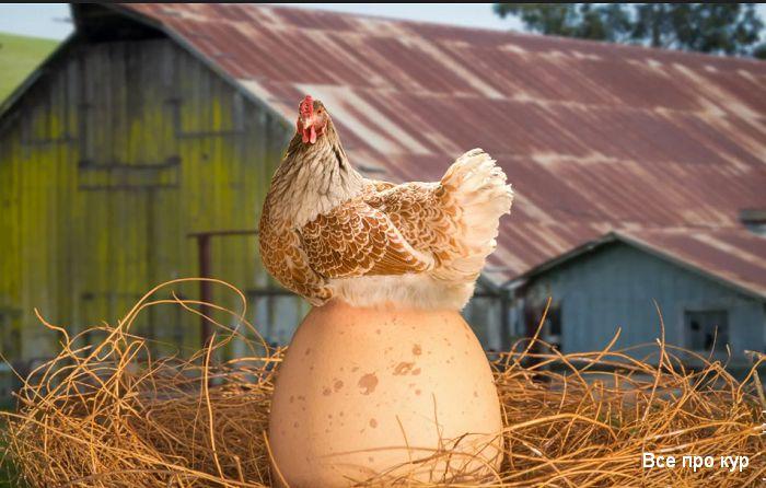 Почему куры несут яйца с мягкой скорлупой?