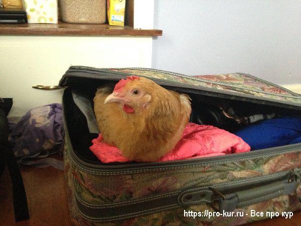 Курица в чемодане.