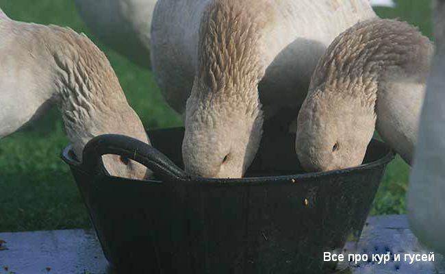 Чем кормить гусей в домашних условиях?