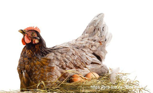 Выведение цыплят курицей наседкой в домашних условиях.