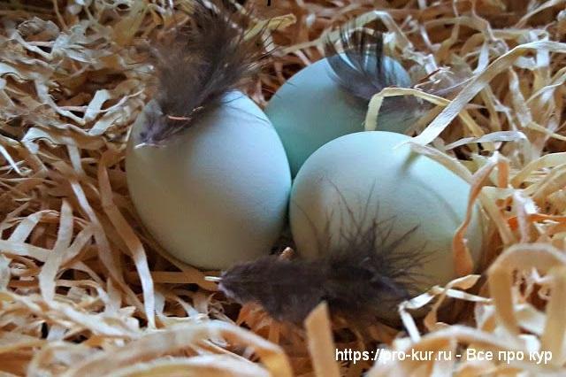 Яйца для насиживания.