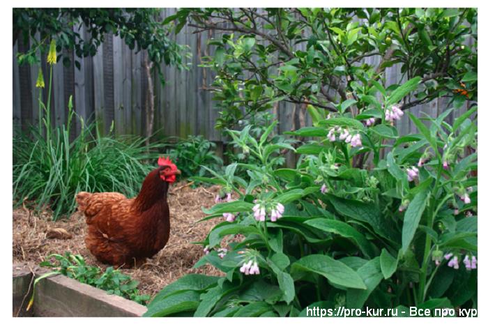 Куры в огороде весной, летом, осенью и зимой.