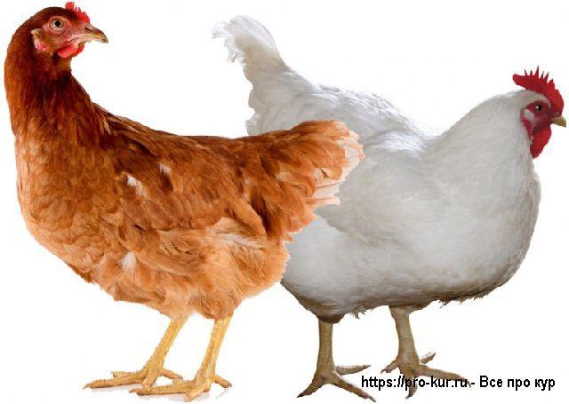 Где купить и как правильно выбирать инкубационное яйцо и птицу?