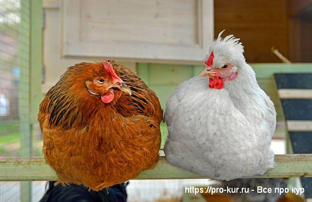 Инородные тела в ЖКТ домашней птицы.