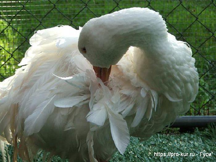 Красавица гусыня белая.