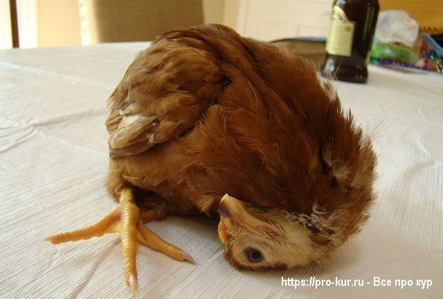 Кривошея у цыпленка лечение.