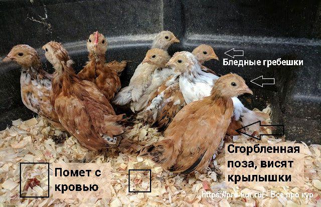 Лечение кокцидиоза у цыплят и молодняка птиц.