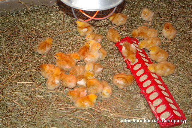Суточные цыплята в брудере.