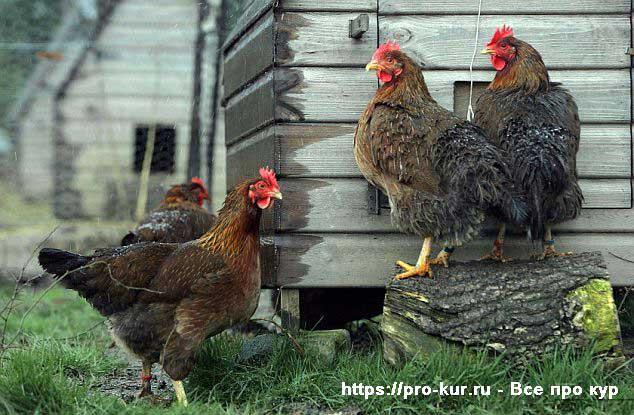 Почему дохнут цыплята и куры – что это за болезнь и что делать?