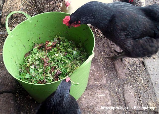 Сорняки для кур несушек и цыплят, бройлеров и молодок.