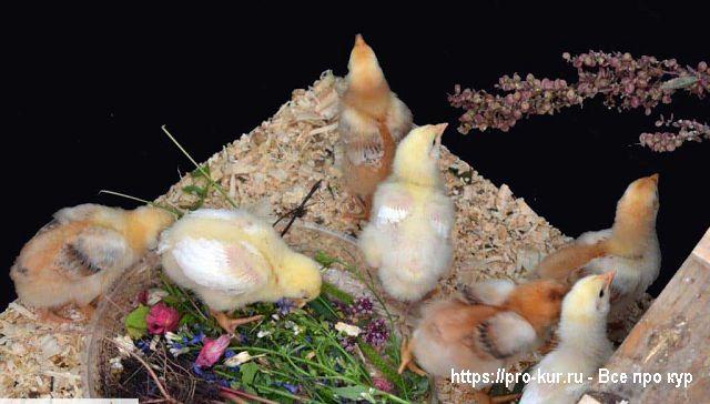 Какие сорняки полезны для кур и другой птицы?