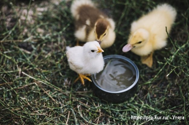 Два утенка и цыпленок.