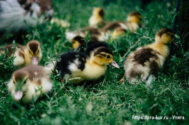 Домашние утята – выращивание и кормление в домашних условиях.