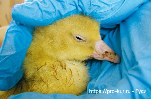 Парвовирус гусей — профилактика, симптомы и лечение.