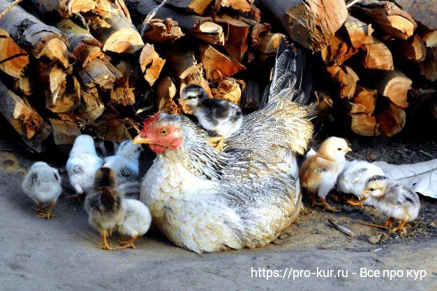 Как правильно разводить домашних кур несушек в домашних условиях.