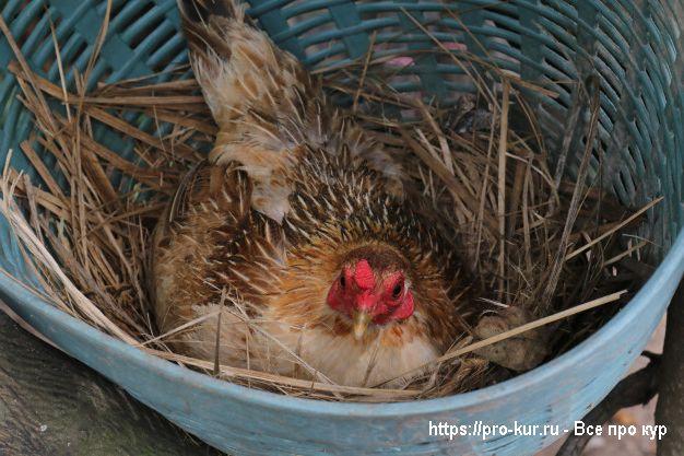 Уход за курицей наседкой в домашних условиях.