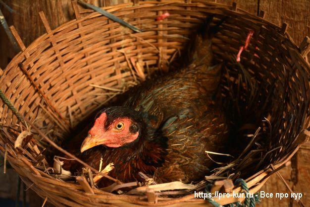 Как ухаживать за наседкой, которая сидит на яйцах?