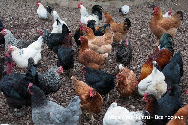 Лучшие мясные породы кур для домашнего разведения.