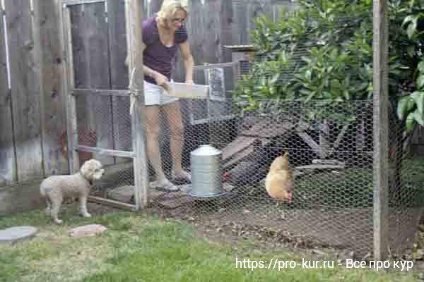 Разведение кур в домашних условиях для новичков.
