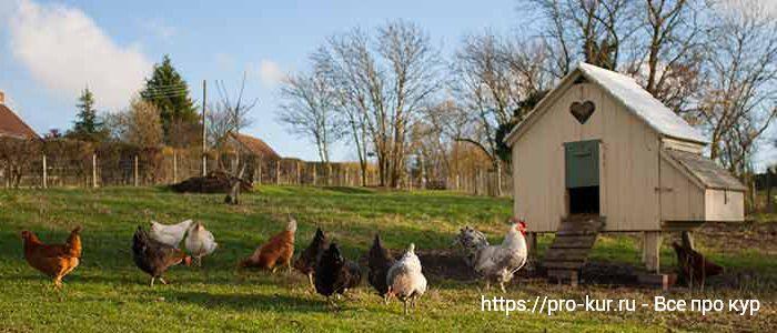 Куры в деревне на свободном выгуле.
