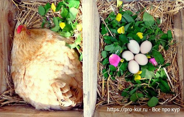 Травы и цветы для кур несушек в гнезде и курятнике.
