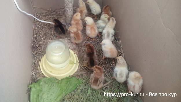 Выращивание цыплят в домашних условиях от А до Я.