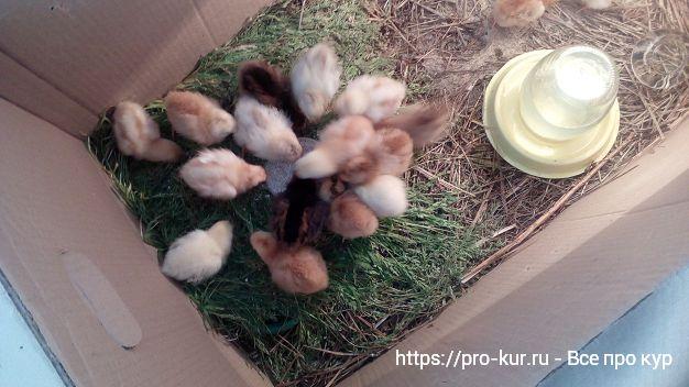 Выращивание цыплят в домашних условиях для начинающих.