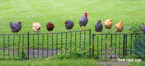 Лучшие яичные породы кур для домашнего разведения.