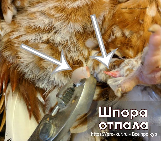 Как удалить шпоры у петуха плоскогубцами?