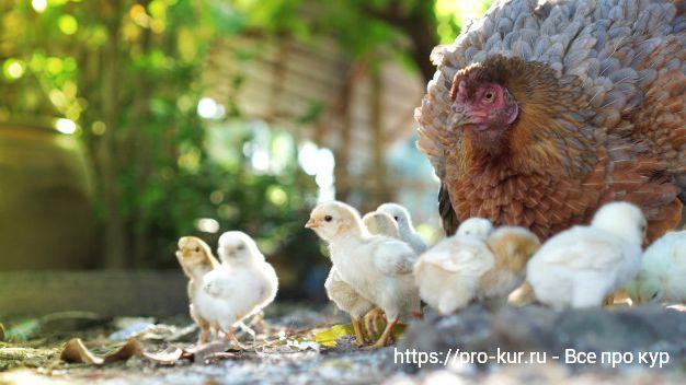 Советы для начинающих: выращивание здоровых цыплят несушек и бройлеров в домашних условиях