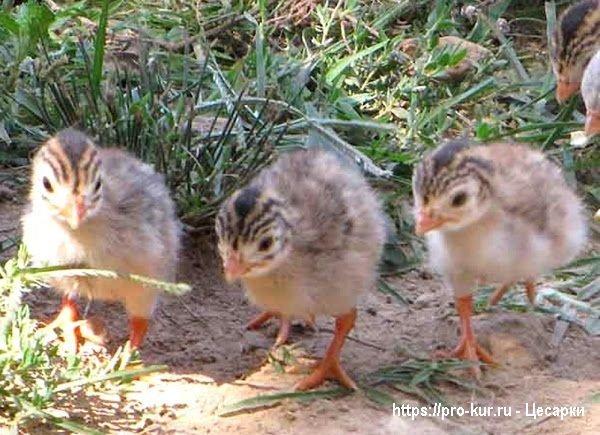 Как выращивать цесарок из суточных птенцов?