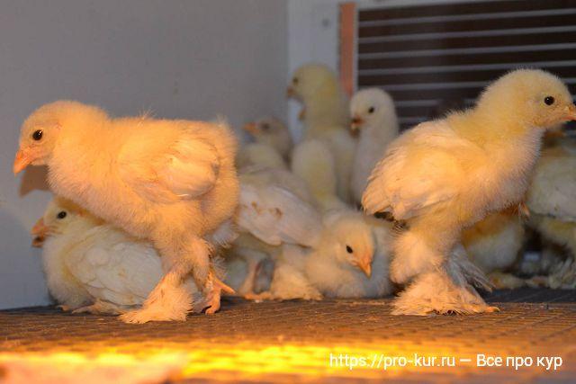 Цыплята породы Брама.
