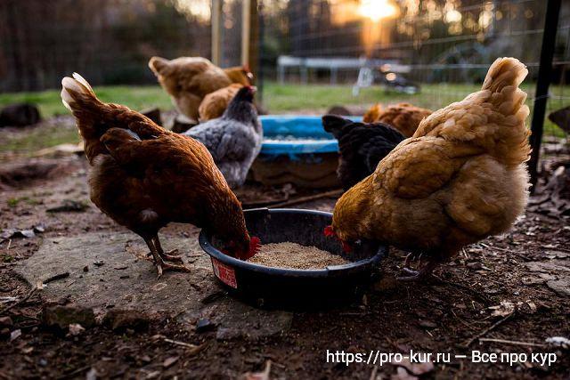Как лечить сальмонеллез у домашних кур?