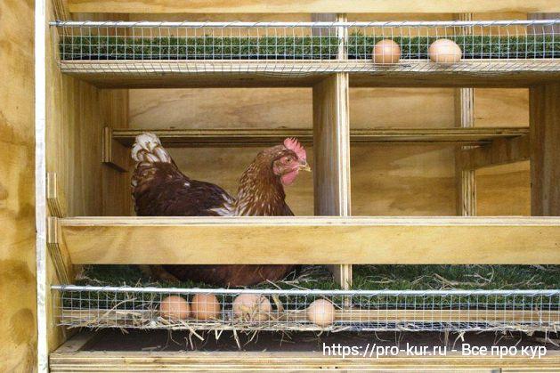 Курица несушка в гнезде с яйцесборником.