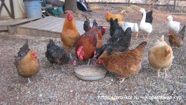 Кормление кур в домашних условиях — виды кормов и правила.