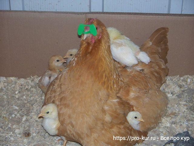 Курица клюет своих цыплят - что делать?