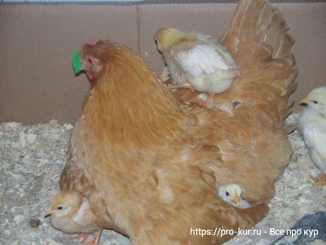 Курица клюет своих цыплят и выщипывает у них перья - что делать?