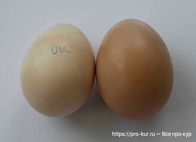 Яйца куры Корниш — описание с фото и видео, выращивание и уход.