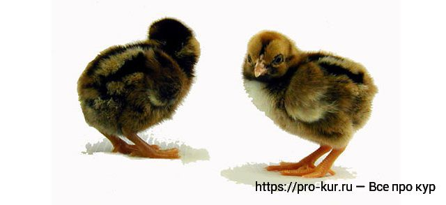 Цыплята темные Корниши.