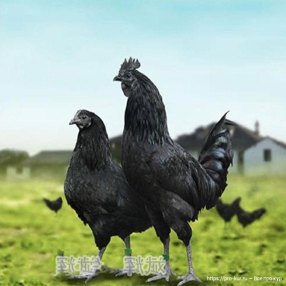 Куры Ухейилюй фото и описание породы с черным мясом.