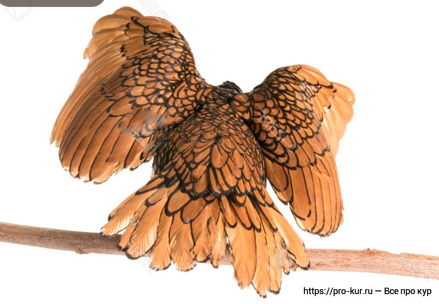 Куры Сибрайт описание с фото декоративной породы.