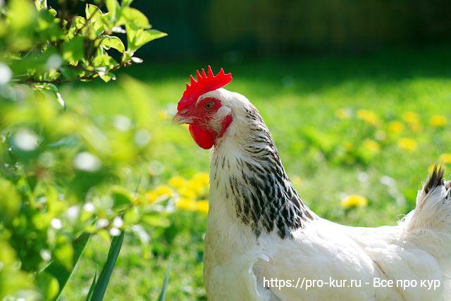 Курица на свободном выгуле.