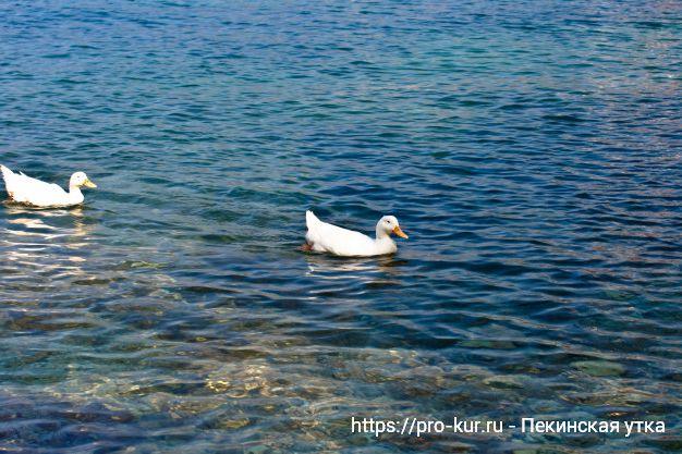 Пекинские утки плавают в море.