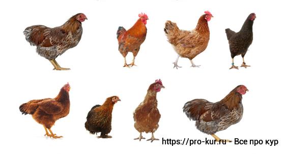 Птичий язык или терминология куриного царства у птицеводов.